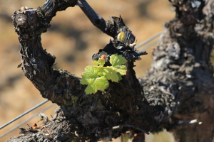 Chile, vineyard, Casablance, vine, budbreak, Chile